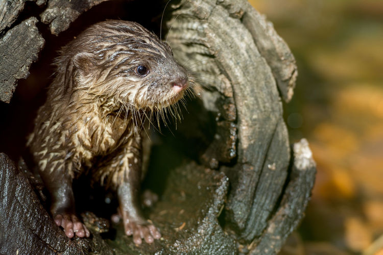 Close-up of cute wet rodent in hollow