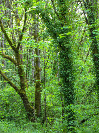 Mossy Trees in a Pacific Northwest Forest Ecosystem  Hiking Oregon Pacific Northwest  Quiet Places Dense Forest Environment Foliage Forest Green Color Grove Leafy Lush Foliage Mossy Tree Nature No People Non-urban Scene Outdoors Refreshing Spring Springtime Tranquility Tree Vertical WoodLand