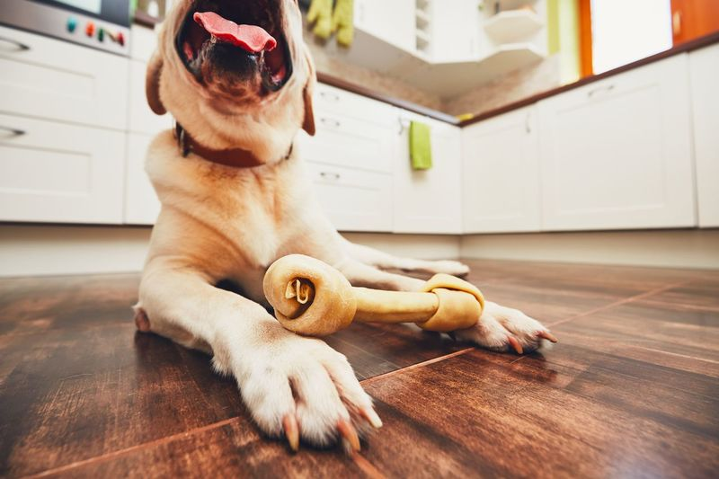 Dog with bone. Cheerful labrador retriever playing with bone for dental heath in home kitchen. Animal Themes Bone  Cheerful Desire Dog Dog Bone Eating Enjoying Life Enjoyment Feeding  Food Happiness Happy Home Home Interior Kitchen Labrador Lying Down Open Mouth Paws Pets Playful Toy