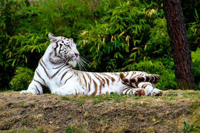 White tiger at Zoo De La Flèche France Tiger Animal Themes Relaxation Zoo One Animal Mammal White Tiger Animal Markings No People Nature Day Outdoors 3XSPUnity Fresh On Eyeem  Animals