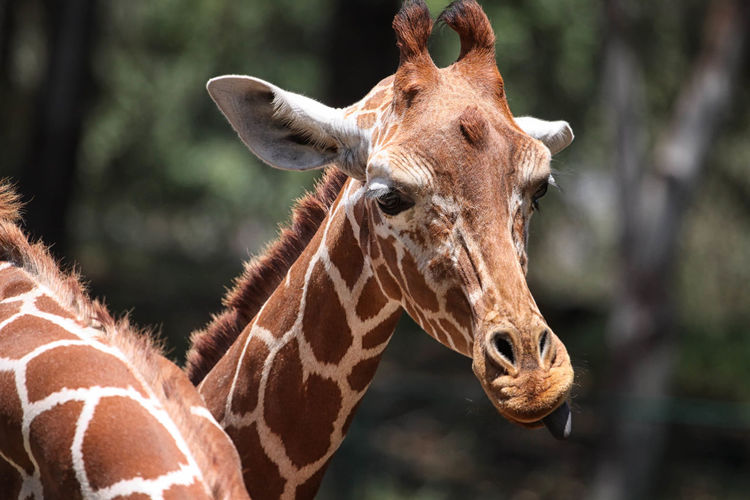 Giraffe Animal Body Part Animal Head  Animal Markings Animal Themes Beauty In Nature Checkered Close-up Day Focus On Foreground Giraffe Long Mammal Natural Pattern Nature Neck No People Outdoors Selective Focus Tongue Wildlife