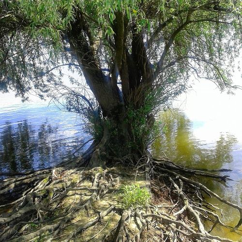 Danube Danube River Donau Danubevalley Treeroots Roots Of Tree Beautiful Tree By The River Tree Art Tree Of Life Tree And River Beautiful Nature Tree By River Riverside Photography Tree In The Water On The Edge Edgewater Watertree Water Trees Nature Inundacion