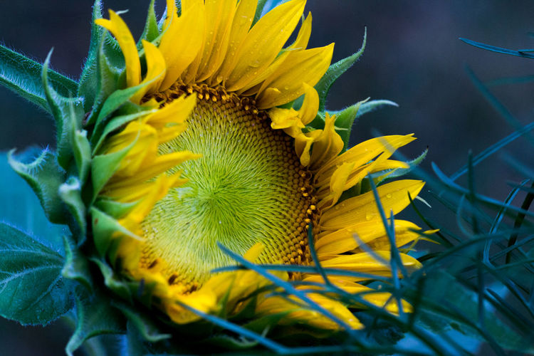 Beauty In Nature Botany Close-up Flower Head Freshness In Bloom Macro Summer Sunflower Sunset Yellow