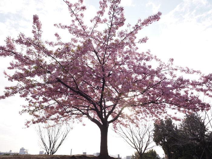 潔く丘の上に1本のみの河津桜、散り始めだった(笑)Tree Nature Sky Hilltop Cherry Tree Cherry EyeEm Nature Lover One Tree Hill One Tree Taking Photos Taking Pictures Olympus Wideangle