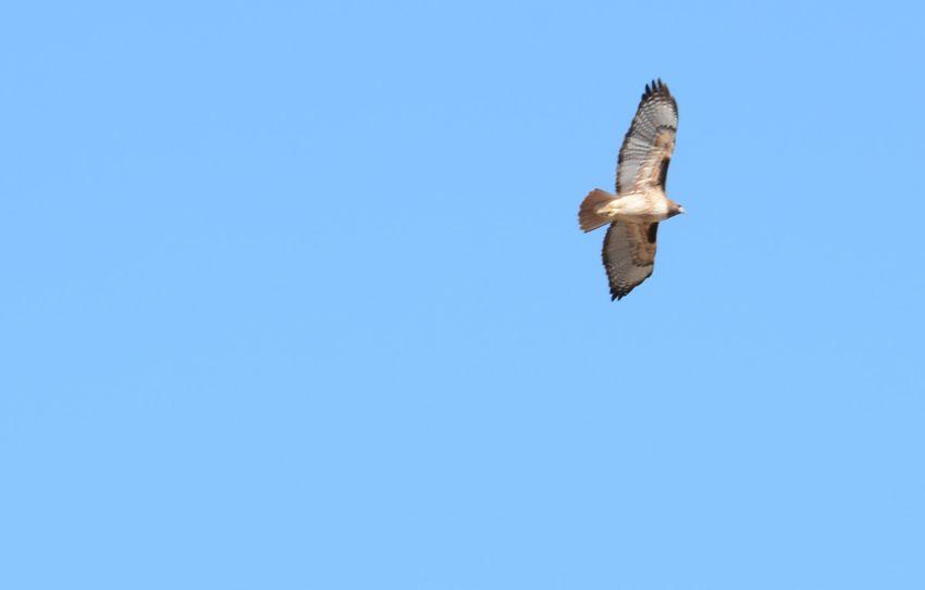 Halk Hawks Flying Flying High Fly Away Sky