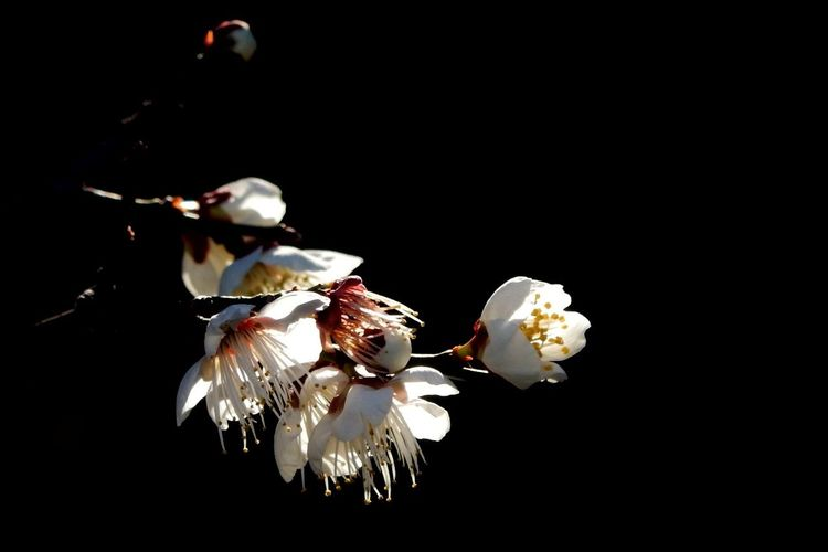 Japanese Plum Blossom Light And Shadow Flower Close-up Beauty In Nature EyeEm Best Shots AW130