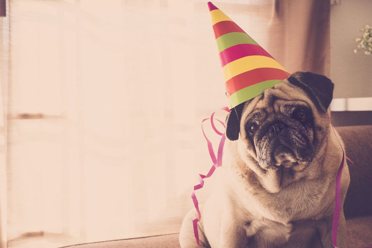 Portrait of pug wearing party hat at home