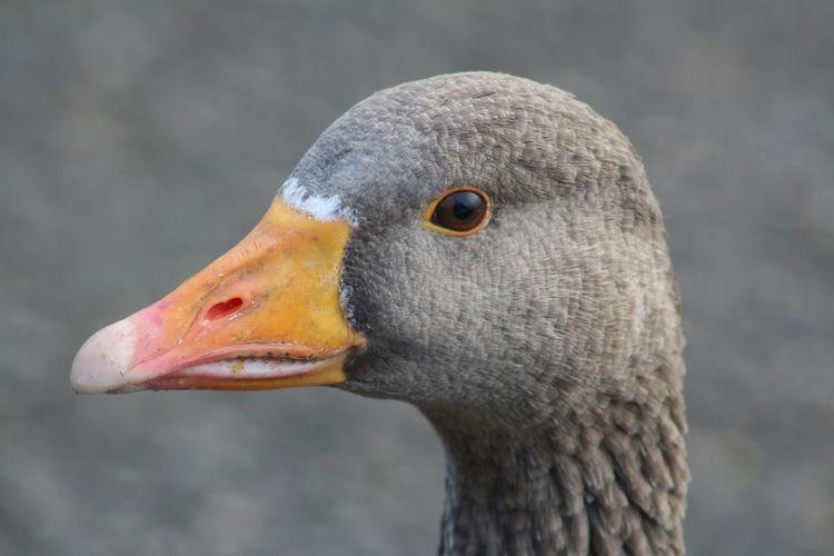 Animal Head