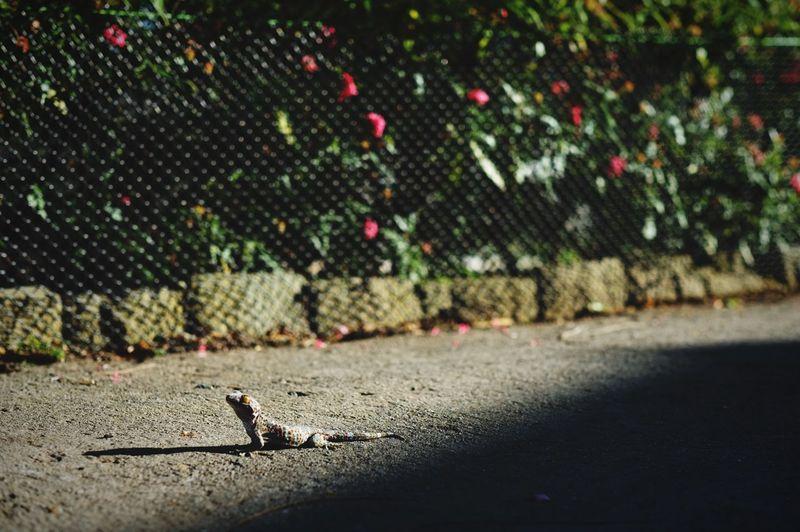 🦎 Gecko 🦎