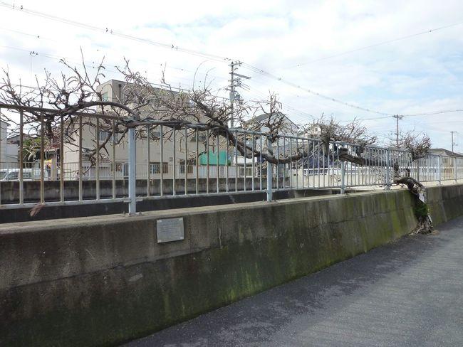 大阪市生野区で発見、力強いねー