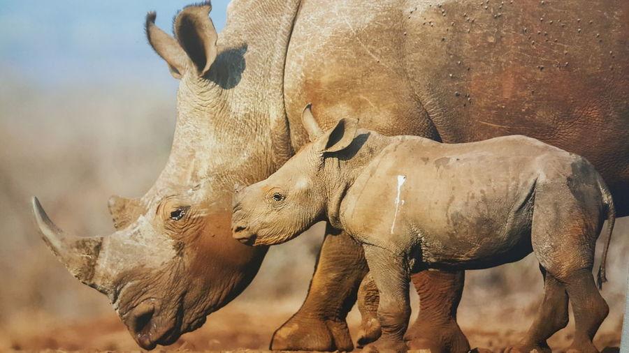 Rhinoceros with calf on field