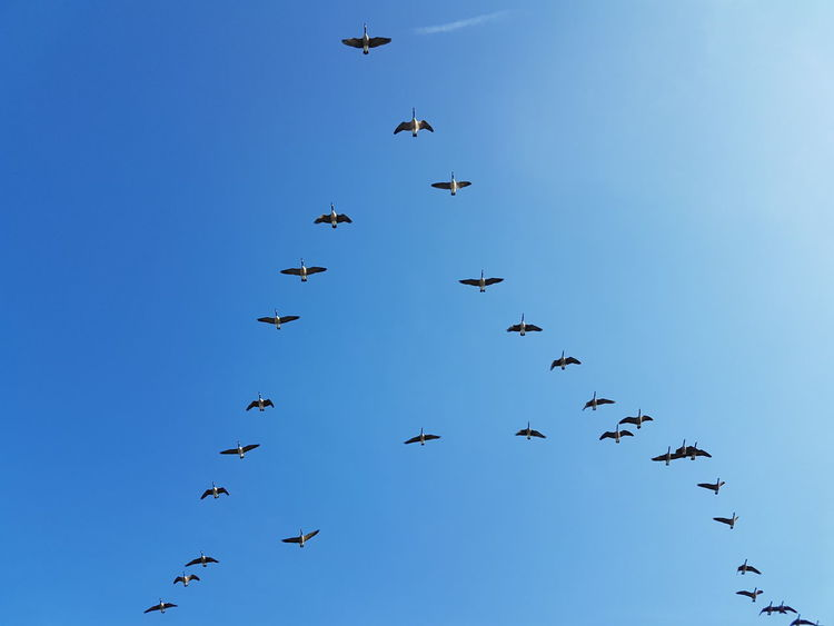 Blue Sky Formation Of Nature Formation Flying Formationofbird Gooses In Flight Gooses View From Below