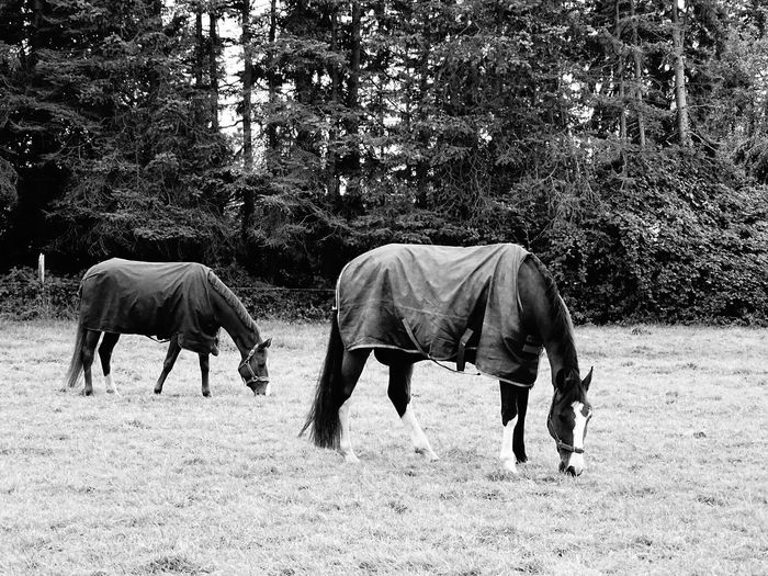 Animal Themes Horse Full Length Tree Domestic Animals Herbivorous Side View Two Animals Togetherness Mammal Livestock Field Day Outdoors Nature Zoology Tranquility Tranquil Scene Eyem Best Shots EyeEm Masterclass Monochrome Monochrome _ Collection Bnw Bnw_collection Bnw_captures