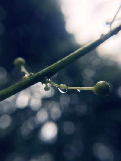 The drop ll Plant Drop Waterdrops Eyemphotos EyeEm Gallery Green ınstagram Aukey 10x Macro Lens Aukey Aukeymacrolens Focus On Foreground Close-up Drop Water No People Nature Wet Plant Outdoors Beauty In Nature Rain Day Plant Part Dew Selective Focus RainDrop Sunlight Twig Growth Purity