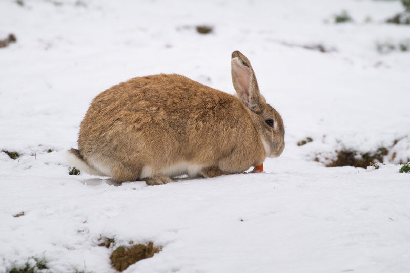 Animal Themes Animals In The Wild Bunny  Close-up Cold Temperature Cute Day Field Mammal Nature No People One Animal Outdoors Rabbit Snow Winter