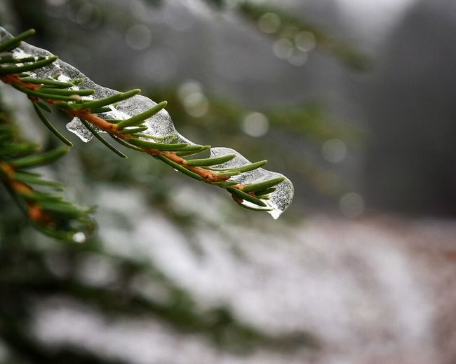 Close-Up Of Frozen Pine Trees