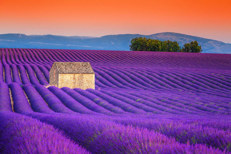 Amazing violet lavender fields near Valensole village, Provence region, France, Europe Purple Landscape Plant Beauty In Nature Scenics - Nature Rural Scene Agriculture Land Nature Field Environment Lavender Flower Sky Farm Sunset Tranquility Tranquil Scene Flowering Plant Outdoors Provence France Europe Tourism Travel Destinations
