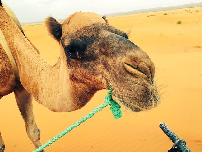 Camel Desert Merzougadeserts Sahara Desert Saharadesert Sahara Merzouga Nature Animal Animals Morocco