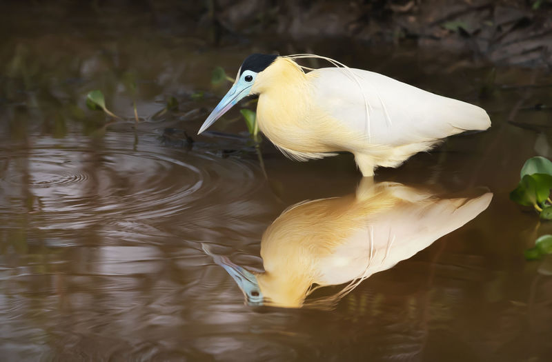 White duck in a lake