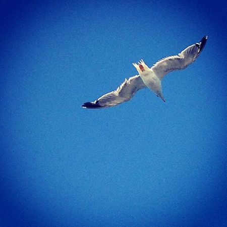 Freebird Bird Free Sky igers igmania instagood iphoneonly onlyiphone wing seagull