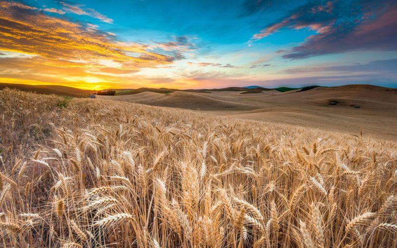 India wheat field