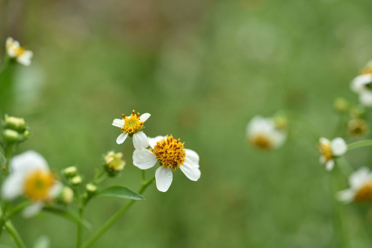 Flowering Plant Flower Plant Freshness Beauty In Nature Fragility Growth Vulnerability  Close-up Petal Flower Head Inflorescence Nature No People Day Selective Focus Focus On Foreground White Color Yellow Green Color Outdoors Pollen