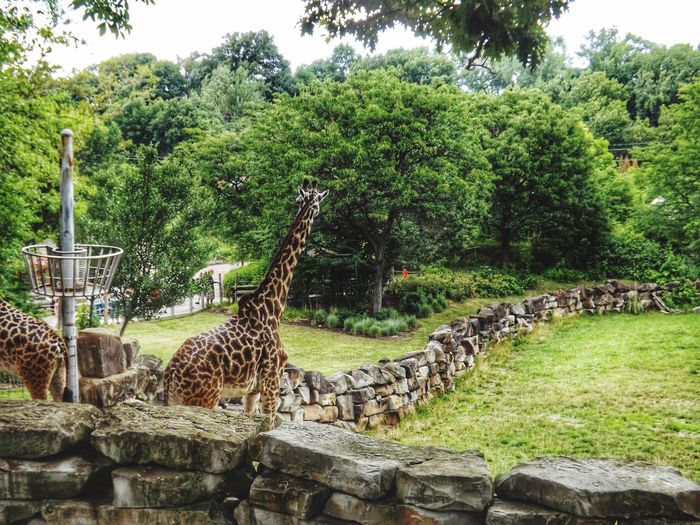 Masai Giraffe Giraffa Camelopardalis Tippelskirchi Cleveland Cleveland Metroparks Zoo HDR
