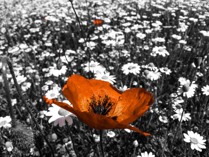 Black And White Poppies  Nature Beauty In Nature Natureporn Mothernature Nature_seekers Orange Color Nature_collection Nature Photography Flowers 🌼🌼🌼