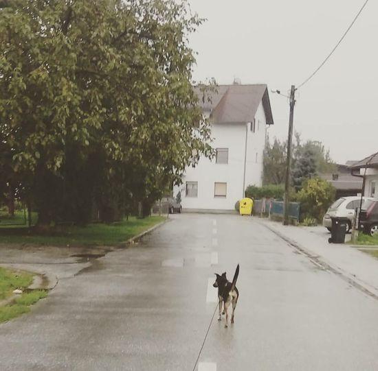 Rainy day :D ...Luna <3 Dog Doggy Puppy Loveher Rain Street Perfect Love Happy Beautiful Fun Having Fun Bestfriend Friends
