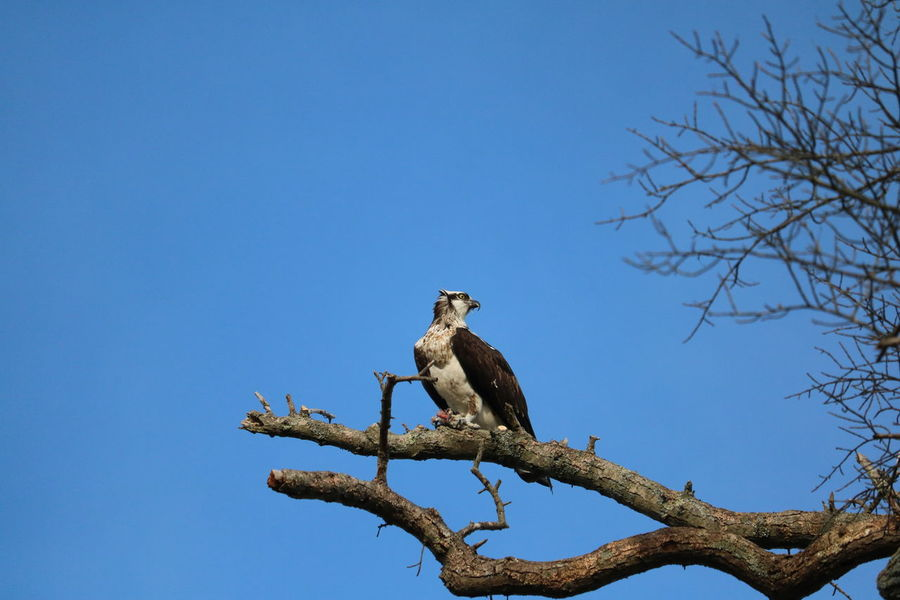 Bird Bird Of Prey Bird Photography Birds Birds Of Prey Flying Long Island Nature Nature Photography Nature_collection Naturephotography New York Newyorkstateparks Osprey  Osprey Nest  Ospreys Outdoor Photography Outdoors Wildlife Wildlife & Nature Wildlife Photography Wildlifephotography Wings