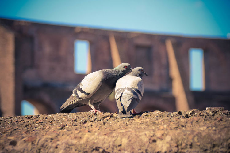 they have the best view for free ;) Animal Themes Animal Wildlife Animals In The Wild Bird Blue Sky Close-up Colloseum Day Italy Nature No People Outdoors Pigeon