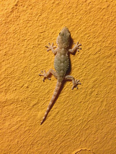 Gecko Reptiles Animals Yellow Night Wall Nature Nocturnal Animal Geco