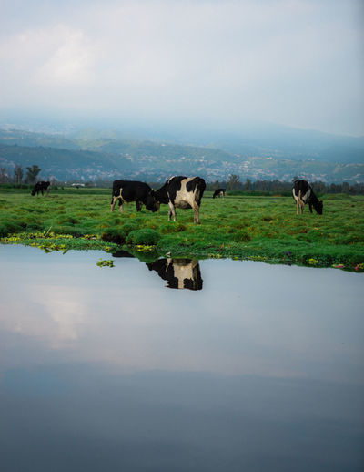 Cows in a lake
