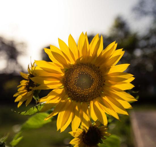 morning EyeEm Selects Flower Head Flower Black-eyed Susan Yellow Defocused Rural Scene Sunflower Summer Beauty Petal In Bloom Flowering Plant Blossom Wildflower