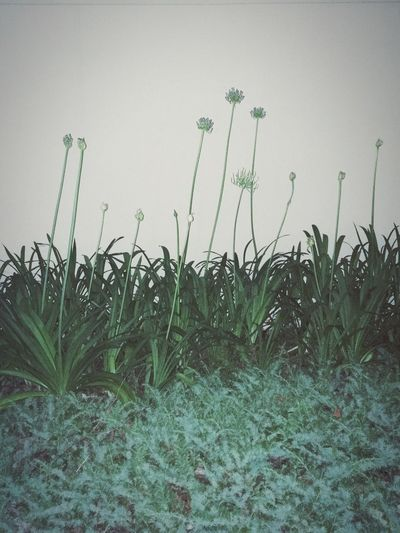 Plants growing on field against clear sky