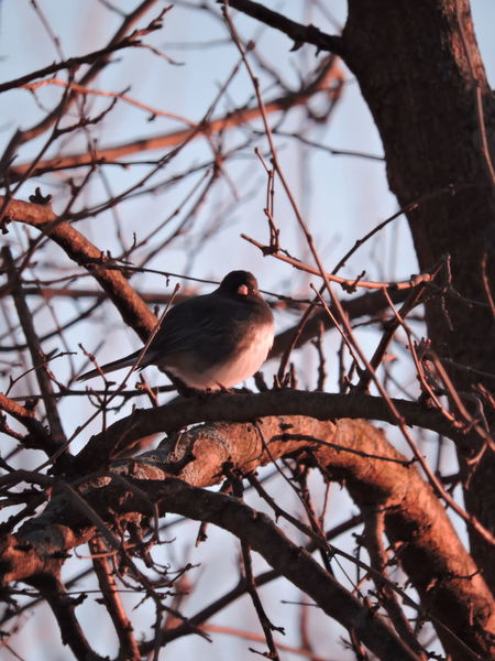 Beauty In Nature, Bird In A Tree Full Frame Shot Junco Morning Sunshine Out My Back Door Sunlit Tree And Birds