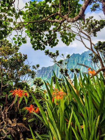The Nā Pali coast wilderness park Hiking the Nā Pali coast wilderness park shows you the wild beauty of Kauai island. No wonder this Hawaiian gem featured in many fantasy movies. Adventure Beauty In Nature Branch Day Flowers Freshness Green Color Growth Hawaii Hawiian Flowers Hiking Kauai Leaf Low Angle View Na Pali Coast Nature No People Outdoors Plant Scenery See Through Sky Tree USA View The Great Outdoors - 2017 EyeEm Awards