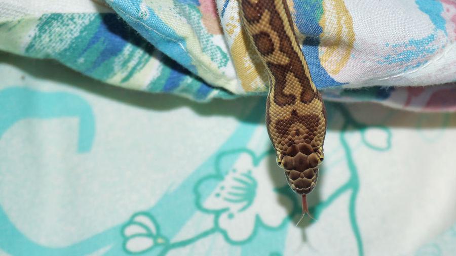 High angle view of python on bed