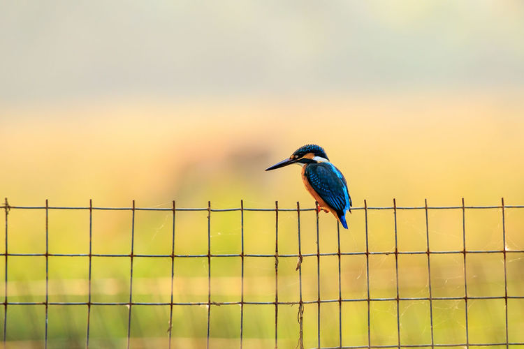 Kingfisher perching on fence