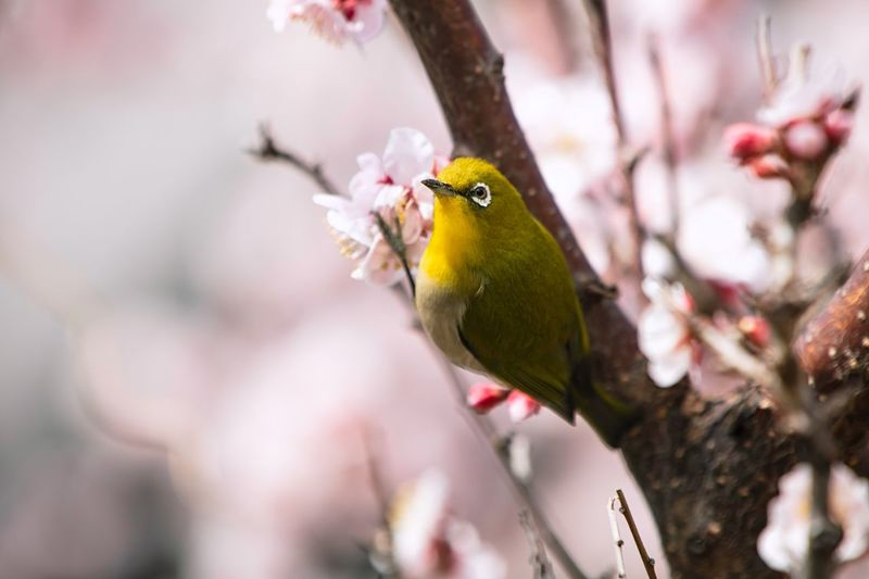 Blossoming  Blossoms  Japanese Apricot Ume Blossom Ume Japanese White-eye Mejiro EyeEm Selects Vertebrate Animal Animal Wildlife Animal Themes Animals In The Wild Focus On Foreground One Animal Perching Tree Plant Day Branch Close-up No People Nature Outdoors Selective Focus Beauty In Nature Flower