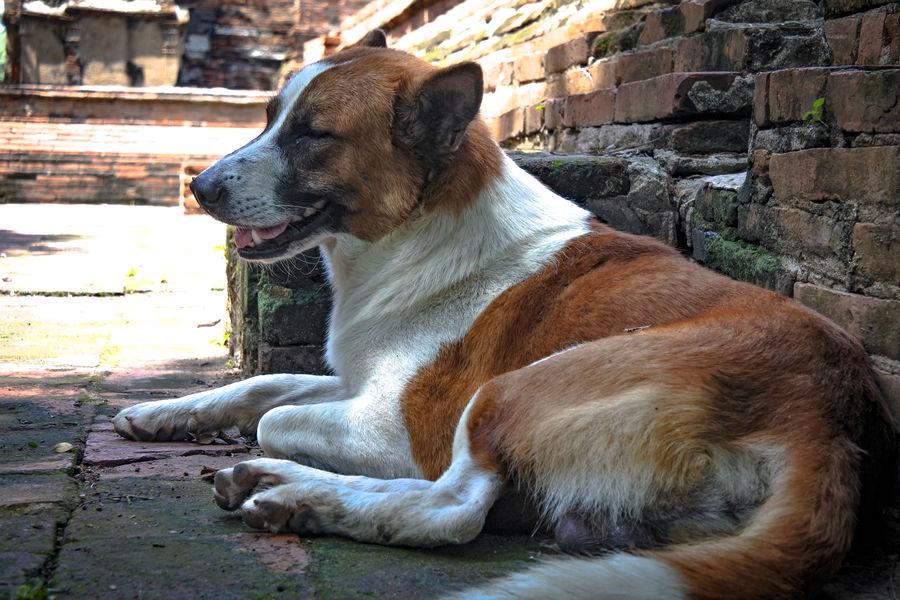 Dog sleep in Ayutthaya's ruined Sleeping Dog Ruined Ayutthaya Thailand Pet Dog Brown Puppy Pets Dog Water Sitting Close-up Pet Collar