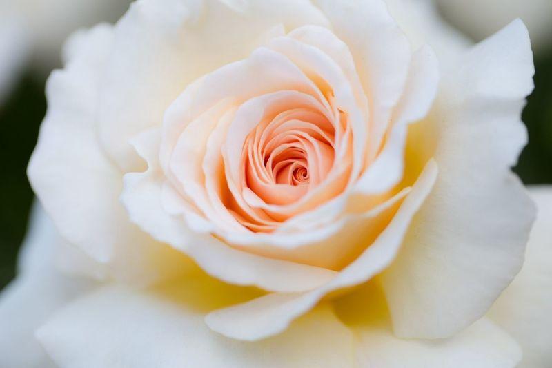 EyeEm Nature Lover Sweet Dreams Flowerporn Macro_collection