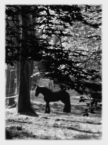Robust Horse Dark Black In The Wood Stalon One Horse Strongness White Frame BnW4 Animal Themes
