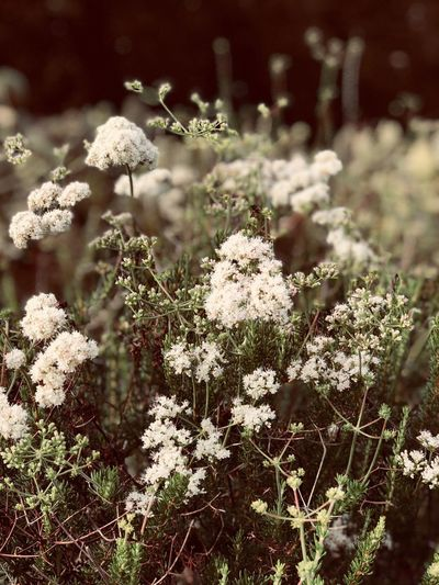 Zen Plant Growth Flowering Plant Flower Vulnerability  Fragility Freshness Outdoors Sunlight Tranquility White Color Focus On Foreground Day Close-up Nature Beauty In Nature Field Flower Head Inflorescence No People EyeEmNewHere Summer Exploratorium