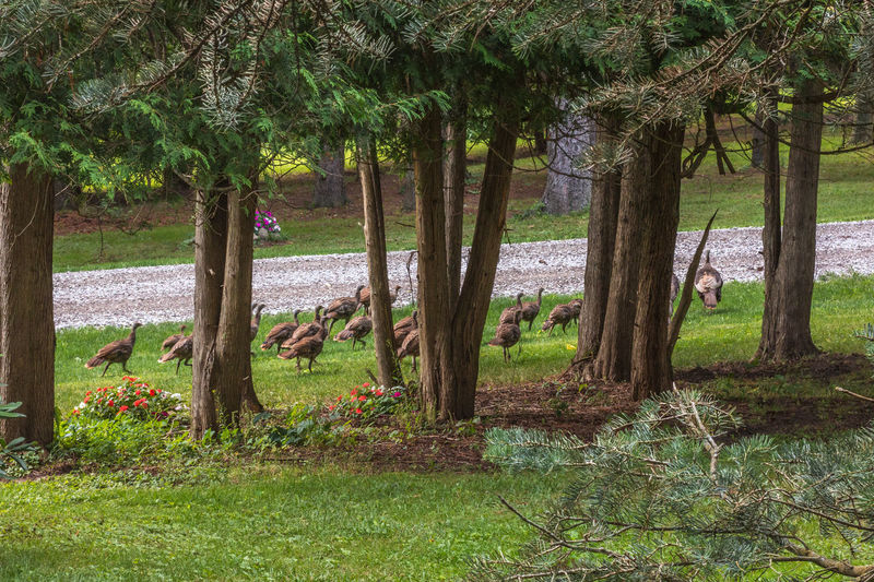 Flock of young turkeys Flock Of Birds Animal Themes Birds Flock Of Turkeys Landscape Nature No People Outdoors Scenics Tree Trunk Turkeys