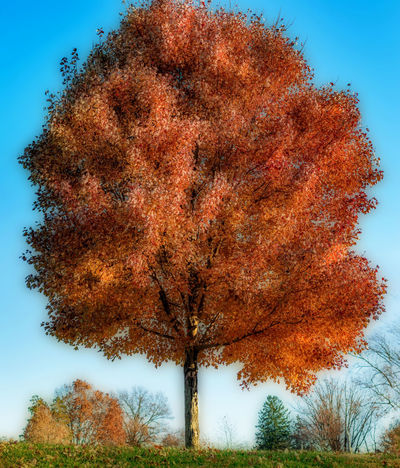 Two photo orten effect fall tree EyeEm Best Shots EyeEm Nature Lover Orange Orton Effect Tree TreePorn Autumn Beauty In Nature Blue Change Day Growth Howard Roberts Leaf Low Angle View Maple Nature No People Orange Color Outdoors Scenics Sky Tranquil Scene Tranquility Tree