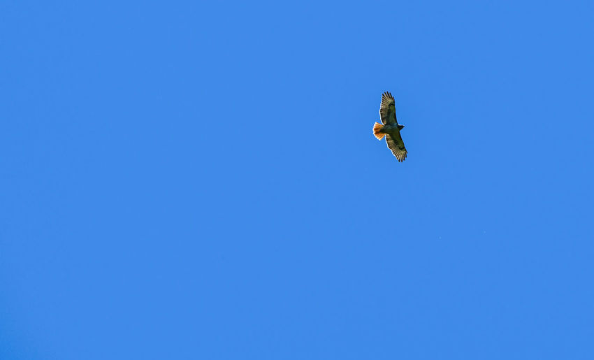 Low angle view of hawk flying against clear blue sky