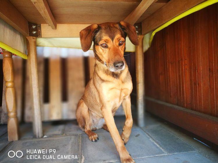 Belgischer Schäferhund Dog Shepherd Pet Pets Dog Animal Themes Labrador Retriever Retriever Puppy