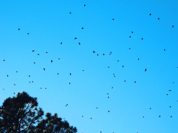 Flying Bird Sky Flock Of Birds Large Group Of Animals Outdoors No People Nature Day Beauty In Nature Newmexicophotography Newmexicoskies Newmexicoskys NewMexicoTRUE Crows CROWS!!!! Murder Of Crows Murder
