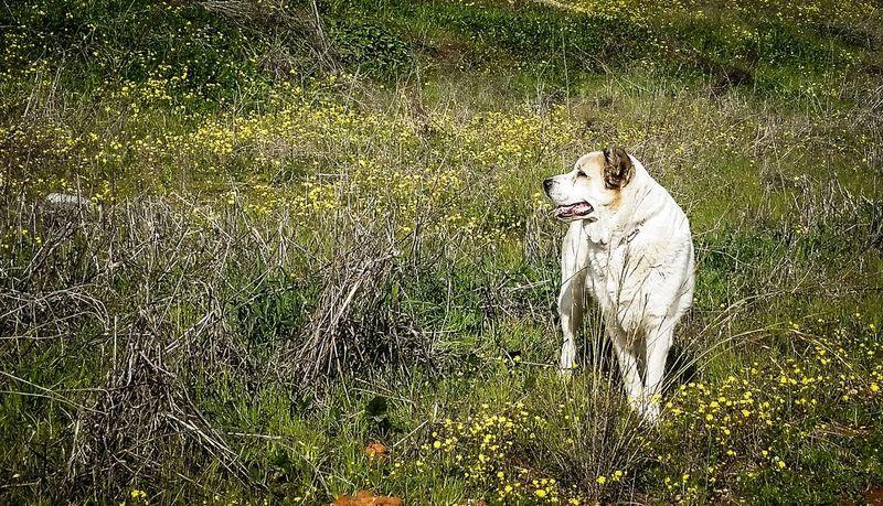 Alabai Centralasianshepherd Centralasian Ovcharka Mydog Day Nature Dog Dogs Of EyeEm Dog Photography Dogoftheday Bestoftheday EyeEm Best Shots Photographylovers Field Of Flowers